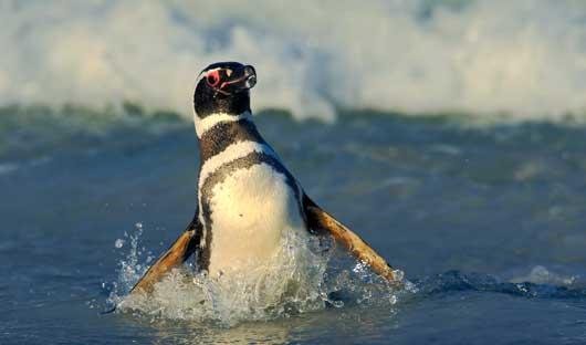 Magellanic-Penguin-Falkland-Islands