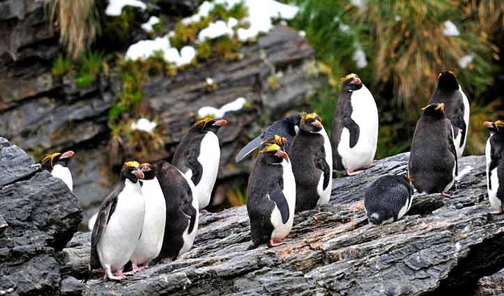 Penguins Rockhoppers
