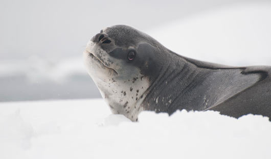 leopard-seal