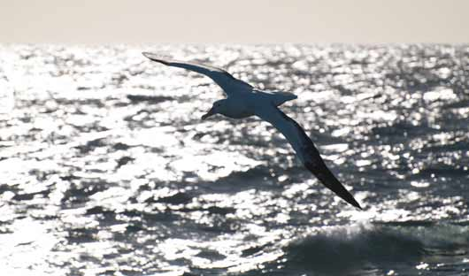 wandering-albatross-drake-passage