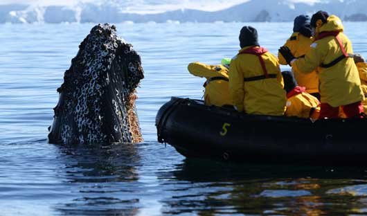 humpback-spy-hopping-Antarctic-Peninsula