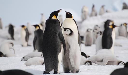 Emperor-penguins-Snow-Hill-Island-Alex-Burridge-Antarctica-Travel-Centre
