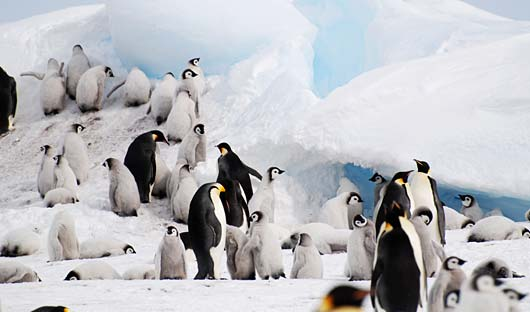 Snow Hill Emperor Penguins