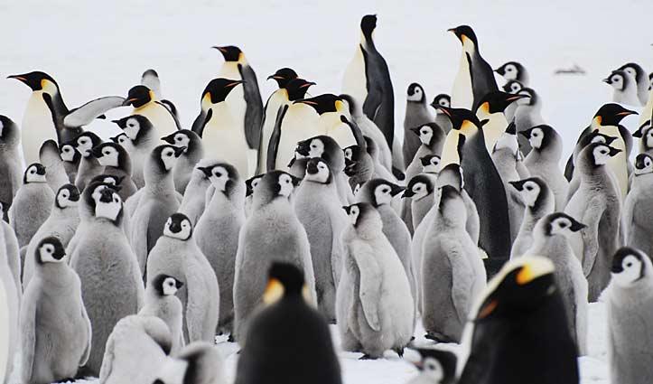 Emperor Penguin Chicks