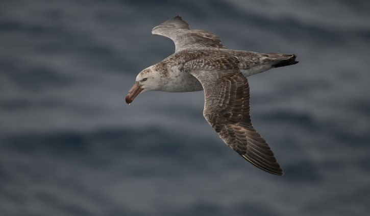 Giant Petrel next to ship