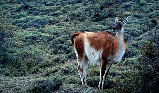 guanaco Patagonia Wildlife