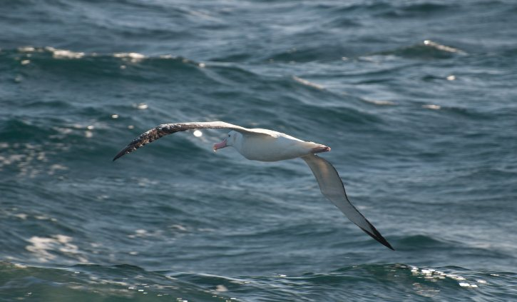 Wandering Albatross at sea