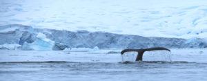 Humpback whale fluke Fournier Bay Antarctic Peninsula Alex Burridge