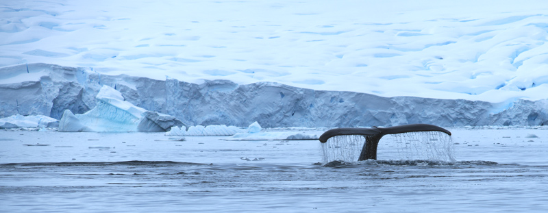 Humpback whale fluke Fournier Bay Antarctic Peninsula Alex Burridge