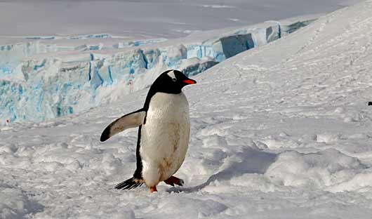 Penguin Antarctic Peninsula