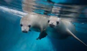 Seals underwater Antarctica