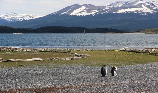 King penguins Tierra del Fuego - Argentina