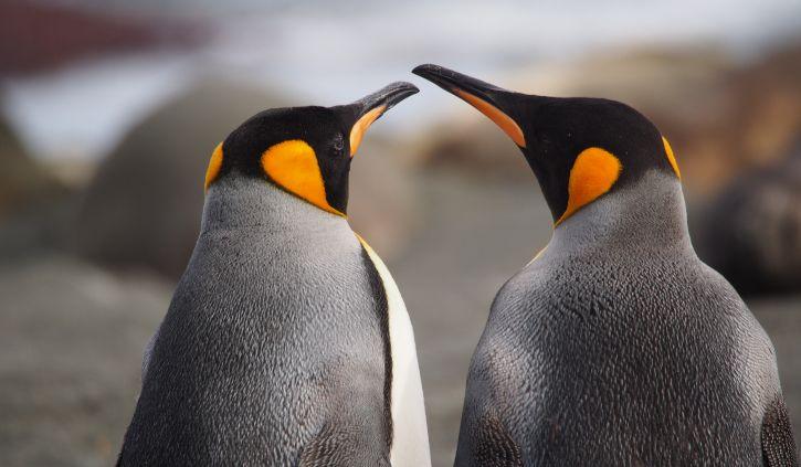 King Penguins Gold Harbour South Georgia