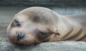 sea_lions_santiago_island_resized