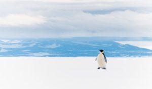 shutterstock_1019183524_resized_Penguin on Ross Ice Shelf