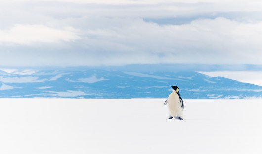 shutterstock_1019183524_resized_Penguin on Ross Ice Shelf