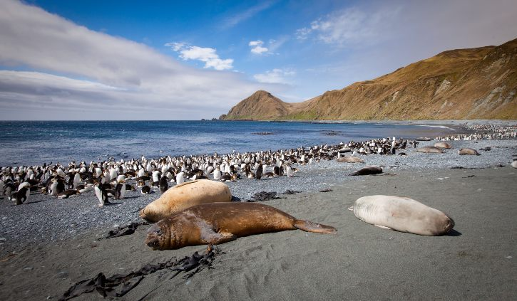 Royal Penguins and Southern Elephant Seals Macquarie Island