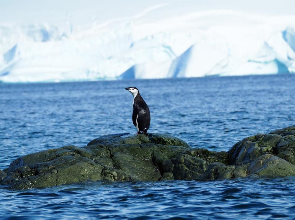Lone Chinstrap penguin Antarctic Peninsula by Carol Hofman