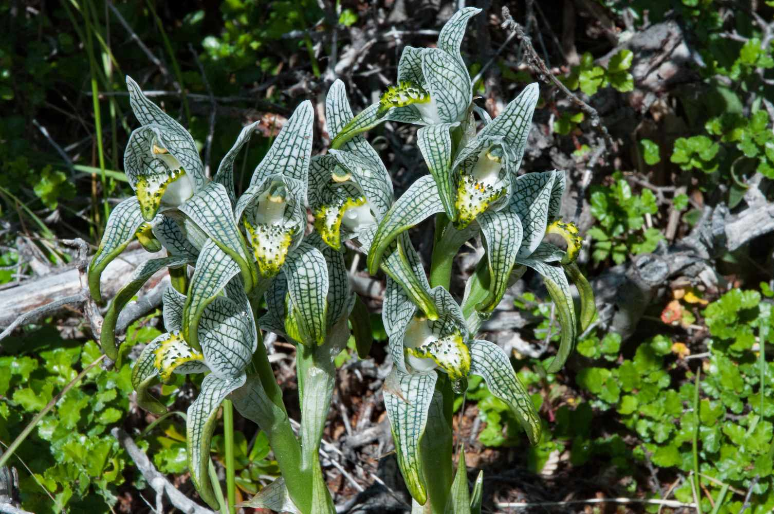 Chloraea Magellanica by Roger Cousens