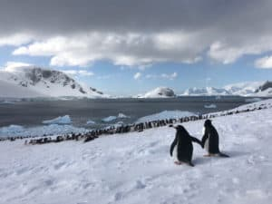 Courting Gentoo Penguins by Jacqui Read