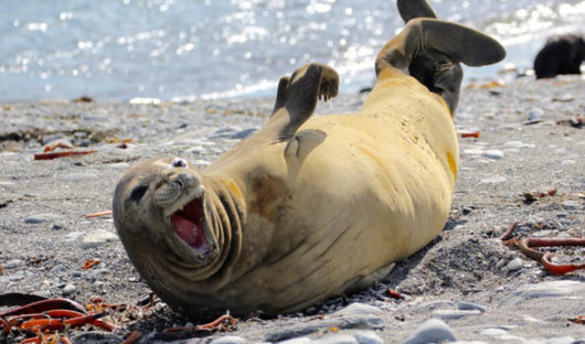 Elephant Seal 'laughing' by Robert Titchener