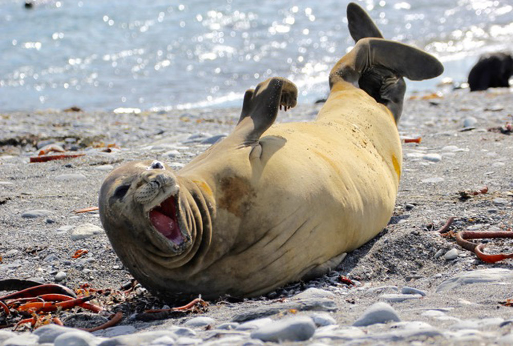 Elephant-seal-'laughing'-Rovert-Titchener-Dec-18
