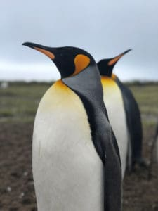 King Penguins, South Georgia by Jacqui Read