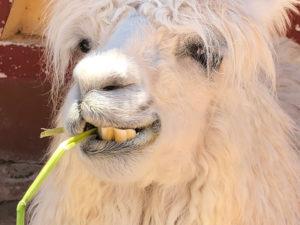 Llama Dentures by Craig Harris