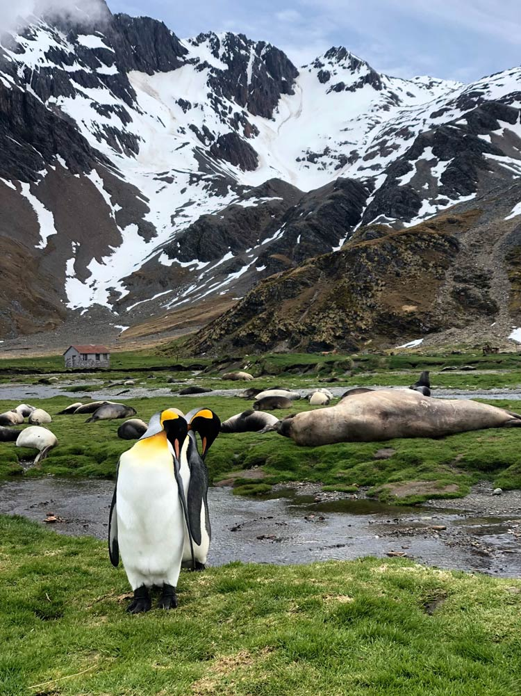 Stromness King Penguins and Elephant Seals by Jacqui Read