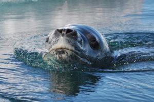 Inquisative Leopard Seal by Rebecca Foley
