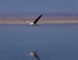 Atacama Flamingo by Lewin Levitz