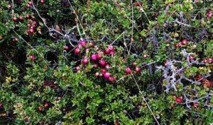 Calafate Berries