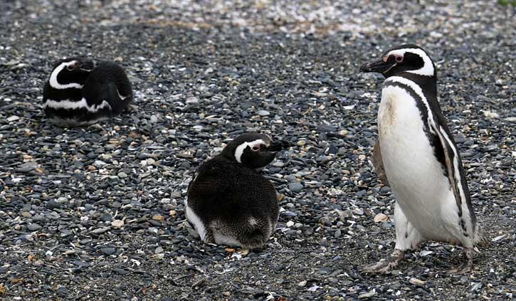 Magellan Penguins Gable Island