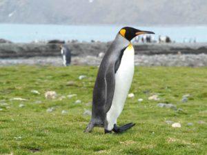 King penguin, St Andrews Bay, South Georgia by Lee Boag