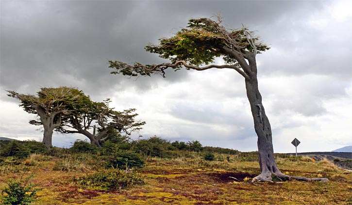 Wind swept tree Gable Island