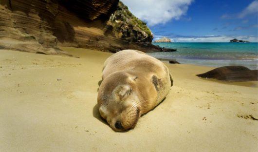 Fur Seal Galapagos Islands by Adam Fry