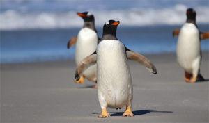 Gentoo Penguin on beach