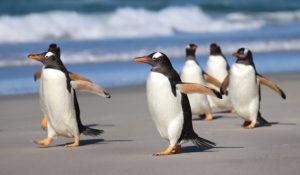 Gentoo Penguins Falklands