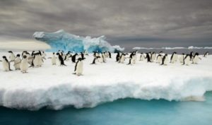 HERITAGE EXPEDITIONS ©EBell_Adelie Penguins off Commonwealth Bay