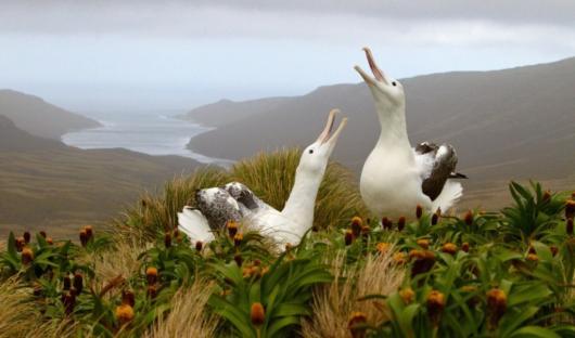 HERITAGE EXPEDITIONS(c) EBell_Royal Albatross (Custom)