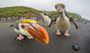 Heritage Expedition Macquarie Island