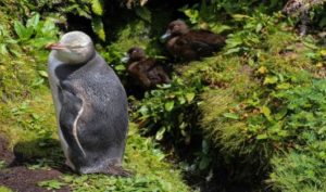 Heritage Expeditions - Yellow Eyed Penguin