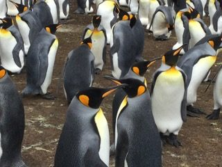 King Penguins by Sylvia Jones
