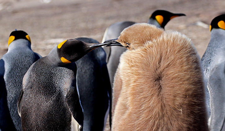 King Penguins Saunders Island, Falklands
