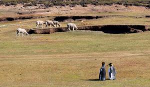 King Penguins and Sheep, Falkland Islands