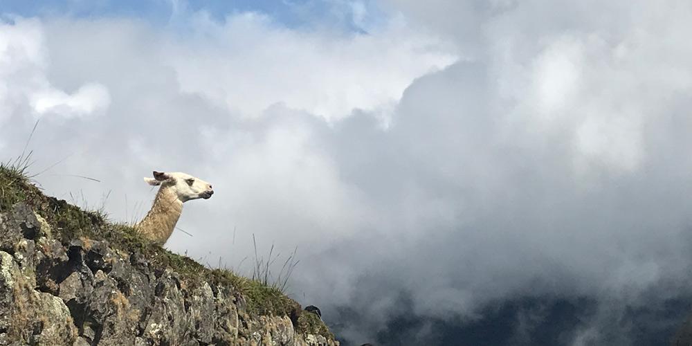 Llama at Machu Picchu by Sokja Family