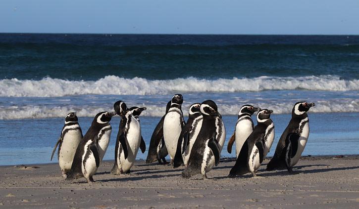 Magellanic Penguins Falkland Islands