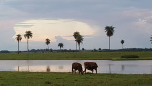 Paraguayan cattle ranch By Jean Johnston