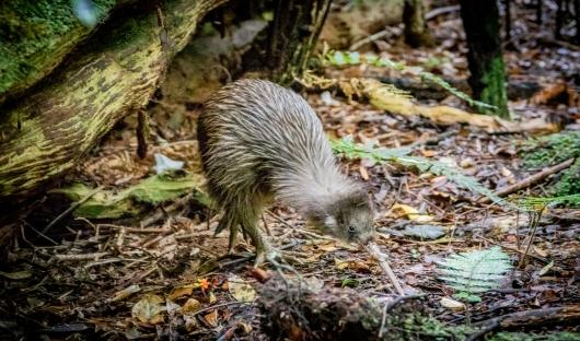 Ulva Island, Kiwi Bird