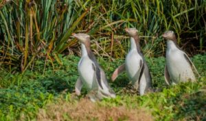 Yellow Eyed Penguins, Enderby Island